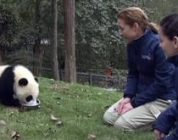 Pandapoep vegen en bamboe splijten op pandacursus in China